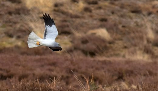 HEN HARRIER (C) JOHN WRIGHT